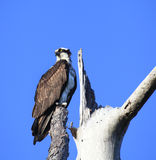 Majestic Osprey Perched in a Dead Tree Royalty Free Stock Image