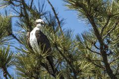 Osprey sitting in a pine tree. Stock Photos