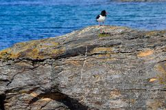 Majestic oystercatcher bird standing on sea shore rock Royalty Free Stock Photo