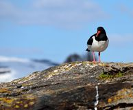Majestic oystercatcher bird standing on sea shore rock in summer sunlight Royalty Free Stock Images
