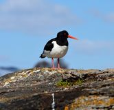Majestic oystercatcher bird standing on sea shore rock in summer Stock Images