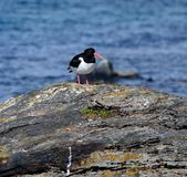 Majestic oystercatcher bird standing on sea shore rock in summer Royalty Free Stock Photo