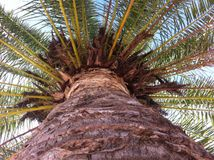 Majestic Palm. Palm tree close up from underneath looking up Stock Photography