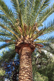 Majestic palm tree. With large green leaves Stock Images