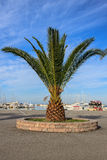 Majestic palm tree. With large green leaves Royalty Free Stock Photos