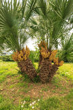Majestic palm tree Royalty Free Stock Image