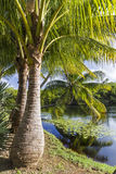 Majestic Palm Trees on Pond Royalty Free Stock Photos