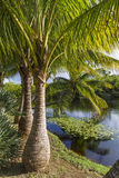 Majestic Palm Trees Royalty Free Stock Photo