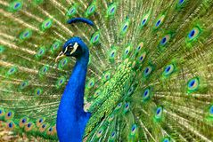 Majestic peacock Stock Image