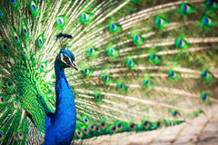 Majestic peacock (Pavo cristatus) Stock Image