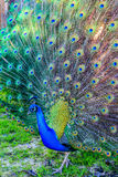 A majestic peacock presenting it's tail feathers in the park. Royalty Free Stock Photo
