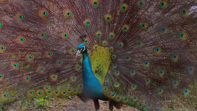 A Majestic Peacock Royalty Free Stock Photos
