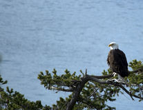 Majestic perched bald eagle Royalty Free Stock Image