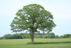 Majestic Perfect Oak Tree. A perfectly shaped oak tree in a green field Royalty Free Stock Photo