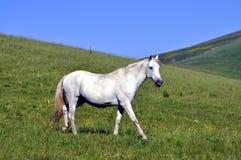 Majestic photo of royal white horse Royalty Free Stock Photo