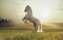 Majestic photo of royal white horse Royalty Free Stock Image