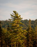 Majestic Pine Stock Image