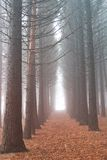 Majestic pine forest Royalty Free Stock Photos