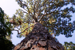Majestic pine tree Royalty Free Stock Photos