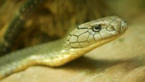 Majestic poisonous snake with light striped skin. Beautiful Monocled king cobra on rock in terrarium cage