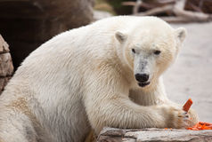 Majestic Polar Bear Eating Carrots Royalty Free Stock Photos