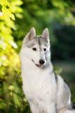 Majestic portrait of grey black purebread husky Stock Photos