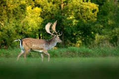 Majestic powerful adult Fallow Deer, Dama dama, on the gree grassy meadow with forest, Czech Republic, Europe. Wildlife scene from royalty free stock photos