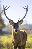 Majestic powerful adult red deer Stock Image
