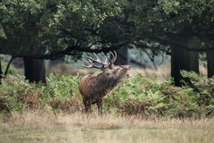 Majestic powerful red deer stag Cervus Elaphus in forest landsca Stock Image