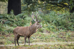 Majestic powerful red deer stag Cervus Elaphus in forest landsca Stock Images