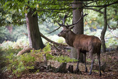 Majestic powerful red deer stag Cervus Elaphus in forest landsca Stock Photography