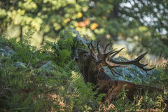 Majestic powerful red deer stag Cervus Elaphus in forest landsca Royalty Free Stock Photos
