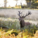Majestic powerful red deer stag Cervus Elaphus in forest landsca Royalty Free Stock Photo