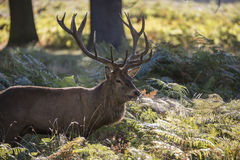 Majestic powerful red deer stag Cervus Elaphus in forest landscape during rut season in Autumn Fall. Majestic red deer stag Cervus Elaphus in forest landscape stock photo