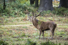 Majestic powerful red deer stag Cervus Elaphus in forest landsca Royalty Free Stock Image