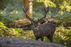 Majestic powerful red deer stag Cervus Elaphus in forest landsca Stock Photography