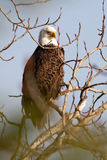 Majestic profile of a bald eagle. Stock Photos