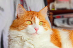 Majestic red cat Stock Photo
