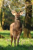 Majestic red deer Cervus nippon Royalty Free Stock Photos