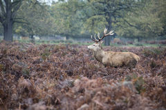 Majestic red deer stag in Autumn Fall forest landscape Stock Photography