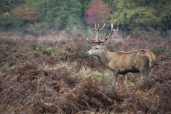 Majestic red deer stag in Autumn Fall forest landscape Stock Photos