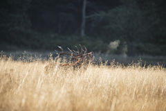 Majestic red deer stag cervus elaphus bellowing in open grasss f Royalty Free Stock Photo