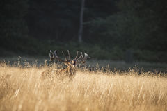 Majestic red deer stag cervus elaphus bellowing in open grasss f Stock Photography