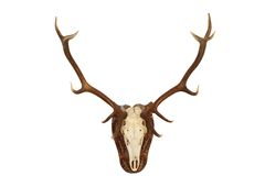 Majestic red deer stag hunting trophy Stock Photography