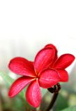 Majestic red frangipani Royalty Free Stock Images