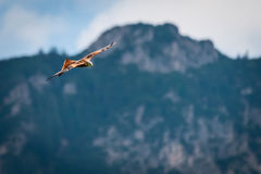 Majestic red kite bird flying at mountains Stock Photography