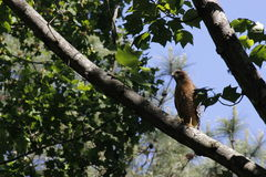 Majestic Red tail hawk. This is a fairly young Red Tail Hawk sitting in a tall tree searching for food on a May afternoon royalty free stock photos