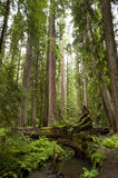 Majestic Redwood Tree Stock Photos