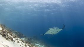Majestic reef manta with attendant cleaner fish royalty free stock photo