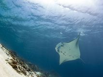 Majestic reef manta with attendant cleaner fish royalty free stock photos